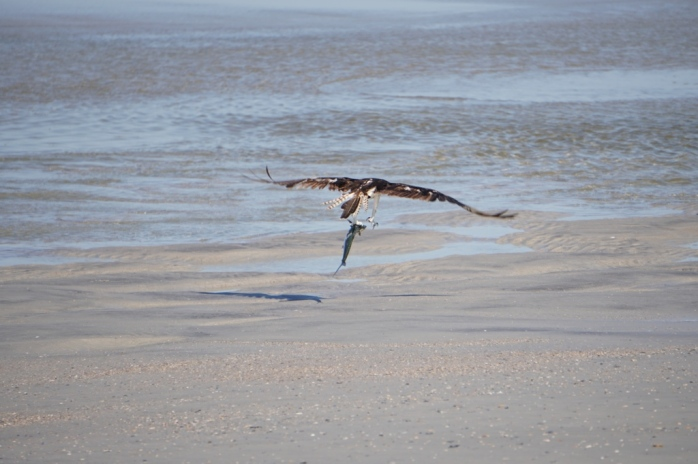 Osprey catching a large fish at Little Talbot Island.