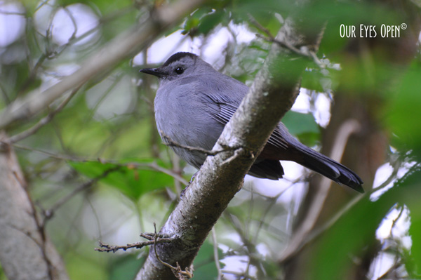 Gray Catbird perched on a branch