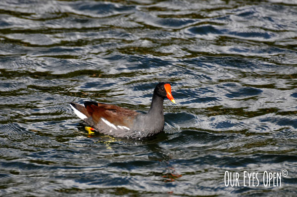 Common Gallanule, also known as the Common Moorhen
