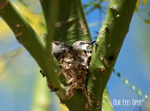 Costa's Humminging Birds in a nest