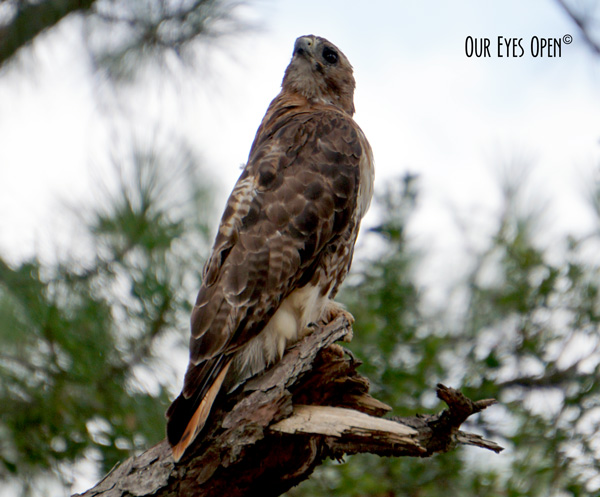 Re-tailed hawk perched on a branch at UNF nature trail in Jacksonville.