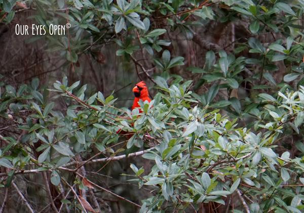 Male Cardinal in a bush