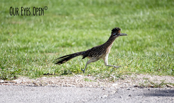 Greater Roadrunner scurrying at quick pace in Floyd Lamb Park near Las Vegas.