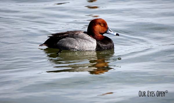 Redhead paddling on the lake