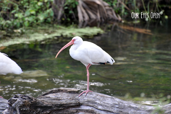 White Ibis perched up on a good log int heh spring at Gemini Springs near Orlando Florida.
