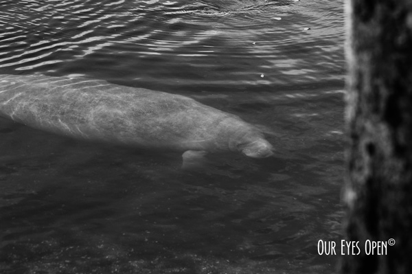 Florida Manatee at Blue Spring State Park