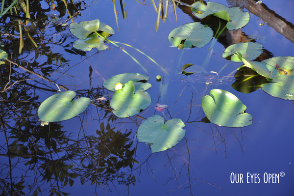 Lily Pads in the Ocklawaha River