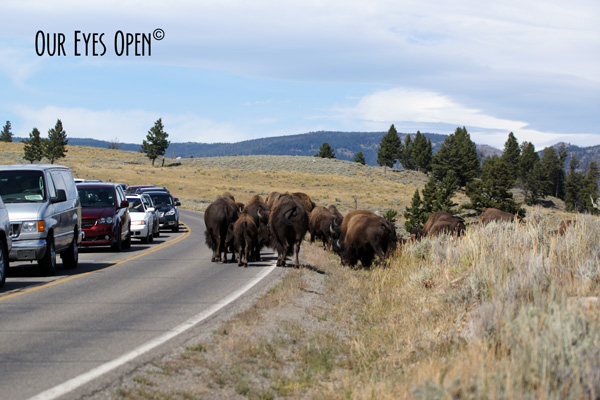 Bison moving off the roadway after 30 minute delay in Yellowstone National Park.