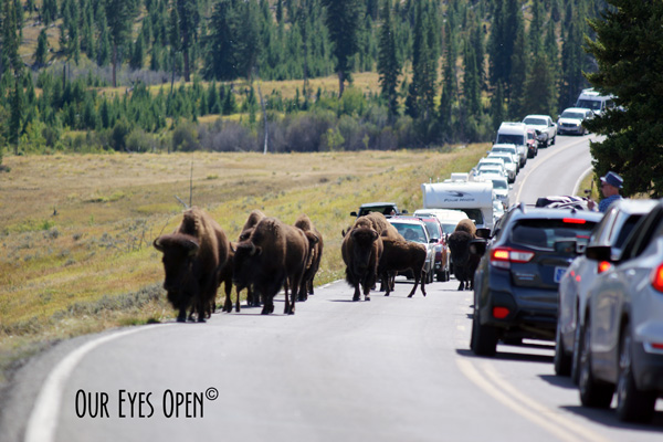 Bison crossing the roadway in Yellowstone National Park