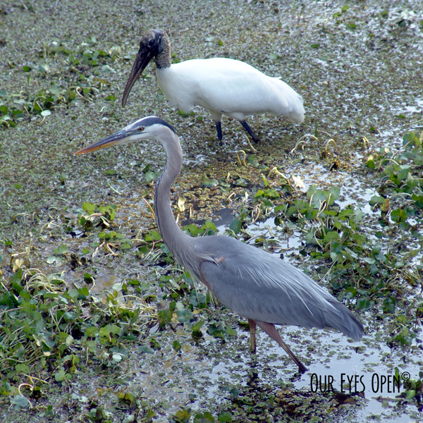 Great Blue Heron & Wood Stork fishing in shallow water at Lettuce Lake Park, Tampa, FL.
