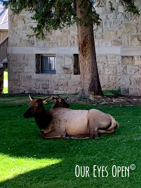 Elk cow & calf lounging on the grounds of the Albright Visitor Center in Mammoth Hot Springs.
