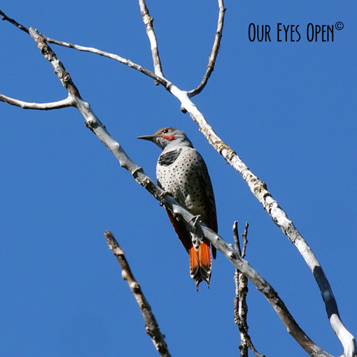 Norther Flicker perched on a tree limb in Bozeman, Montana.