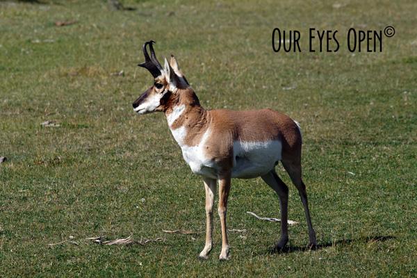 Pronghorn Antelope taken in Lamar Valley, Yellowstone National Park.