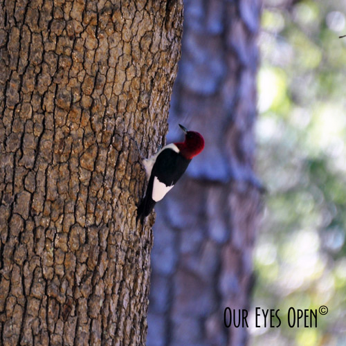 Red-Headed Woodpecker climbing an oak tree in Jacksonville, Florida