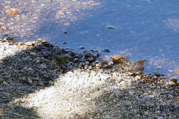 A male and female Red Crossbill stop to  on the river rock on the edge of the Yellowstone River to take a drink of the brink water.