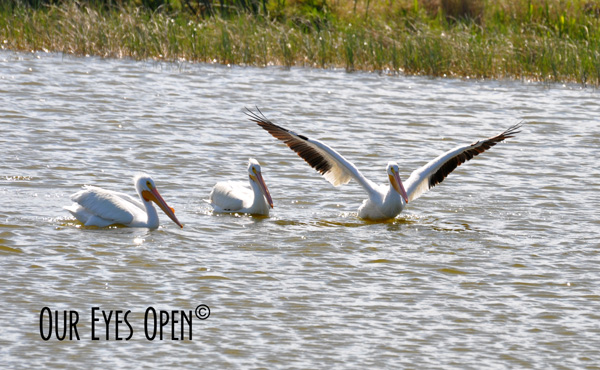 American White Pelicans feeding in a pond at Viera Wetlands, Viera, Florida.