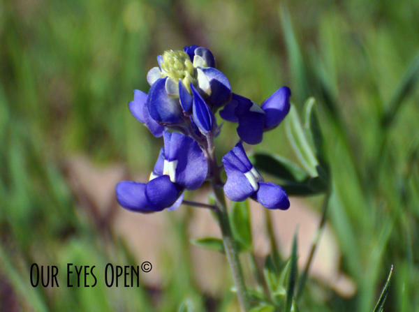 Texas Bluebonnet flower with its bluish purple pedals and dark green leaves.