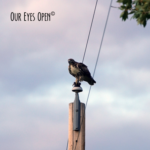 Ferruginous Hawk landed on a power line while we were driving down the highway in Emigrant, Montana.