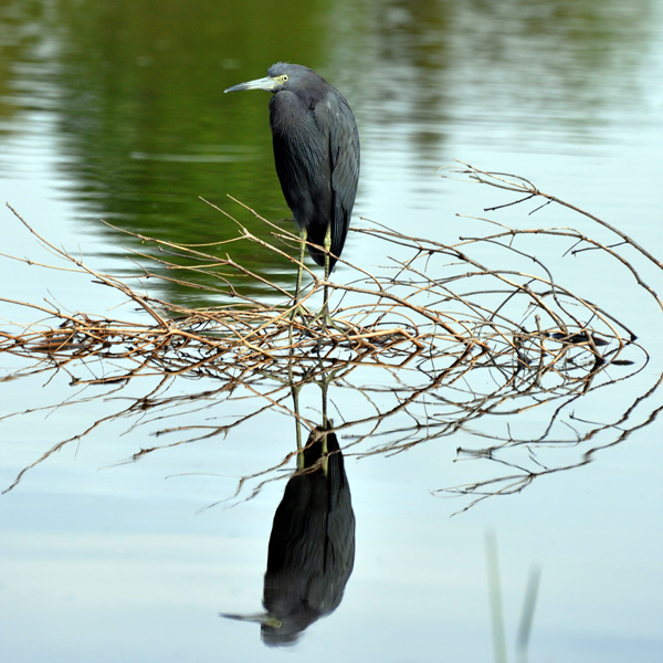 Little Blue Heron perched on a fallen tree limb in the swampy area in Gainesville with an almost perfect mirror reflection of itself.
