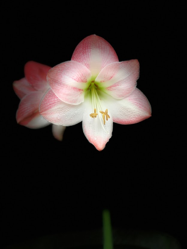 Megan's spirit lives on in this beautiful pink and white lily, five years after her death from the flu.