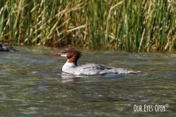 Female Common Merganser floating next to our kayak at String Lake in Grand Teton National Park, circa 9/2019.