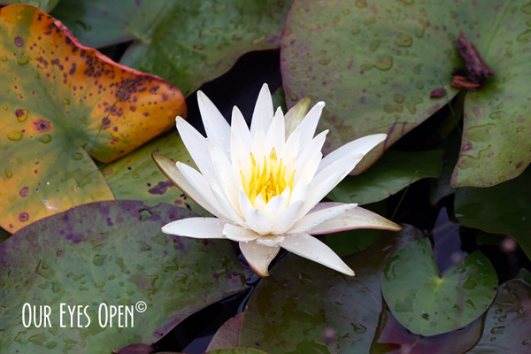 Water Lily blooming in the Okefenokee Wildlife Management along the boardwalk.
