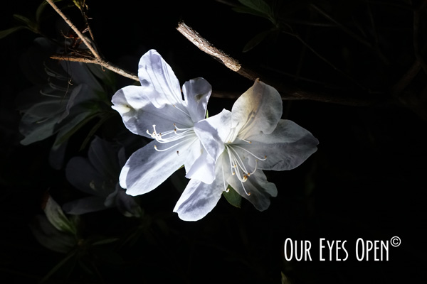 White azalea flower bloomed in the darkness of night with light shining upon its pedals.