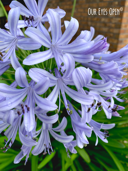 Agapanthus African Lily