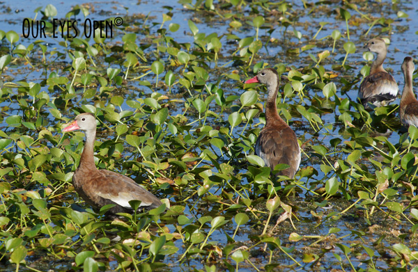 Family of Black-bellied Whistling Ducks foraging for food in the Orlando Wetlands near Christmas, Florida.