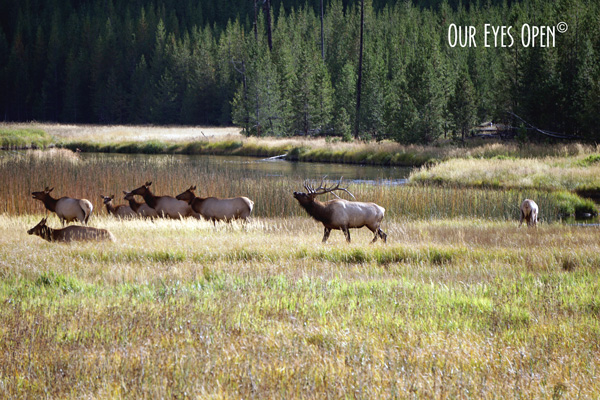 Bull Elk with his heard bugling for them to do exactly what he wants.  Seen moving along the fields near the West Yellowstone entrance in September 2019.