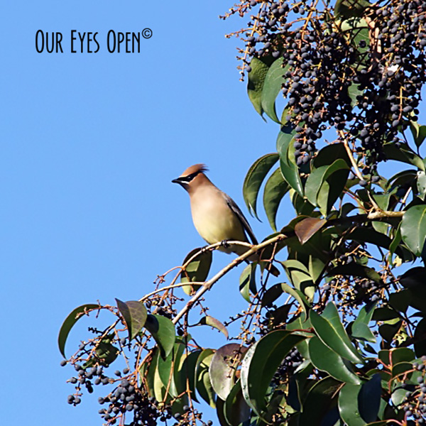 Cedar Waxwing perched in our tree that was full of berries.  Once they were finished, the berries were wiped clean.