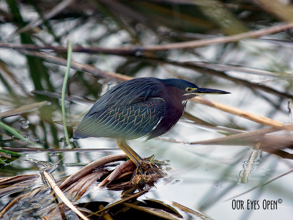 Green Heron perched up looking for fish to nab. The green, blue and purple are vibrant throughout the feathers.