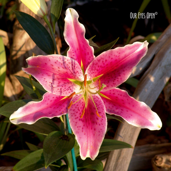 Pink Lily in the garden in springtime.