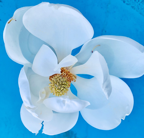 Magnolia leaf detached floating in a swimming pool.