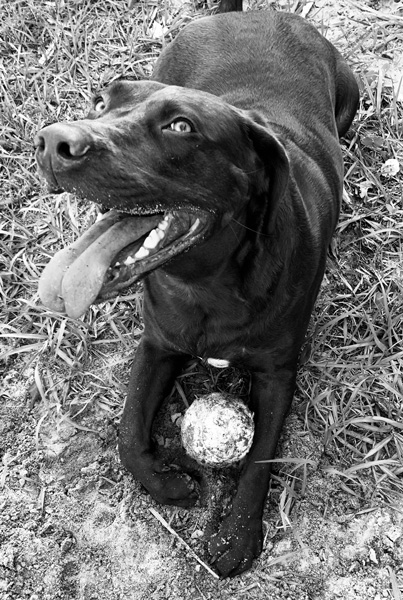 Memphis Jackson @memphisjackson18 on Instagram is a one year old brown lab who is full of energy.