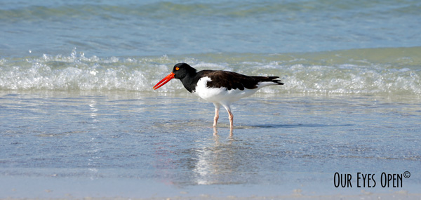 American Oystercatcher feeding along the shoreline of the Gulf of Mexico at Fort Desoto Park in Pinellas County, Florida