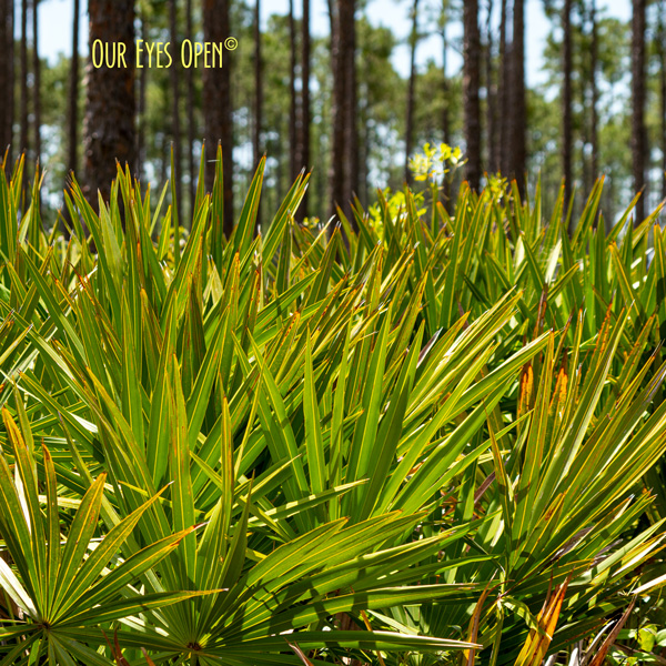 Palmetto in the middle of Okefenokee Wildlife Refuge in Georgia.