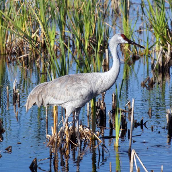 Sandhill Crane, Viera Wetlands, Viera, Florida.