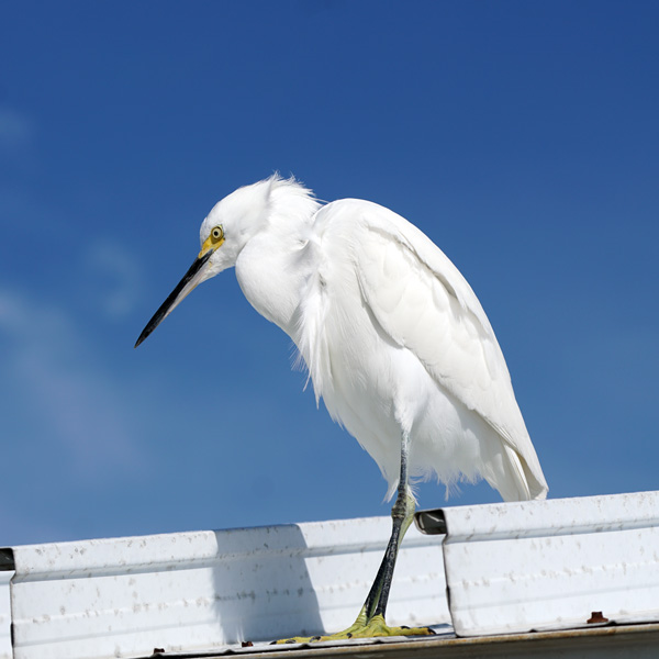 Snowy Egret perched on a covered area on the pier at Fort Desoto Park.