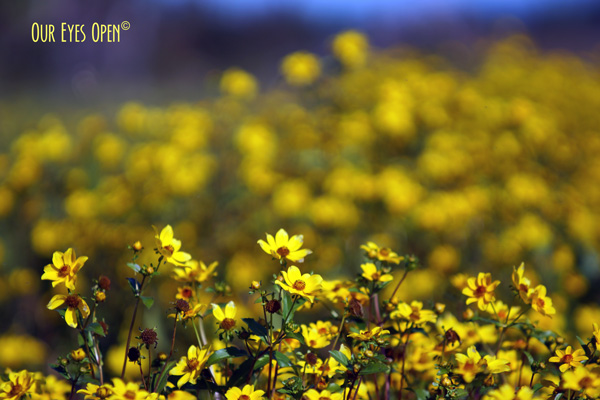 Yellow Wildflowers growing in the marsh lands of the Orlando Wetlands, Christmas, Florida.