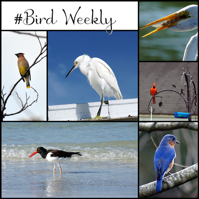 #BirdWeekly Badge for the Bird Weekly Photo Challenge. Add it to your post when participating.