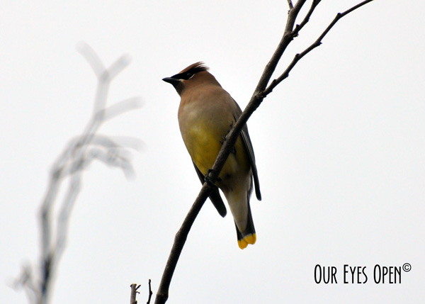 Cedar Waxwing perched in a tree after eating some berries.