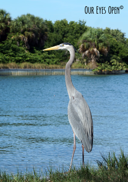 Great Blue Heron standing on the concrete wall that keeps the picnic area from flooding.  Fishermen has some bait in a bait pail and he was wanting to get his fair share of the prize. He was watching the Great Egret & White Ibis get in on it.