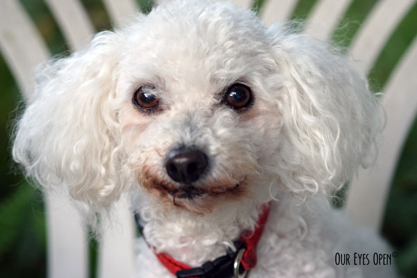 Heaven is a 13 1/2 year old white Bichon Frise.  She was the runt of the liter and has been the sweetest dog.