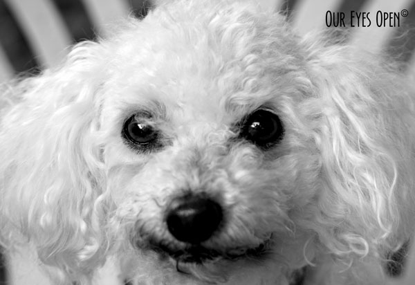 Heaven is a 13 1/2 year old white Bichon Frise.  She was the runt of the liter and has been the sweetest dog.  This photo is in black and white.