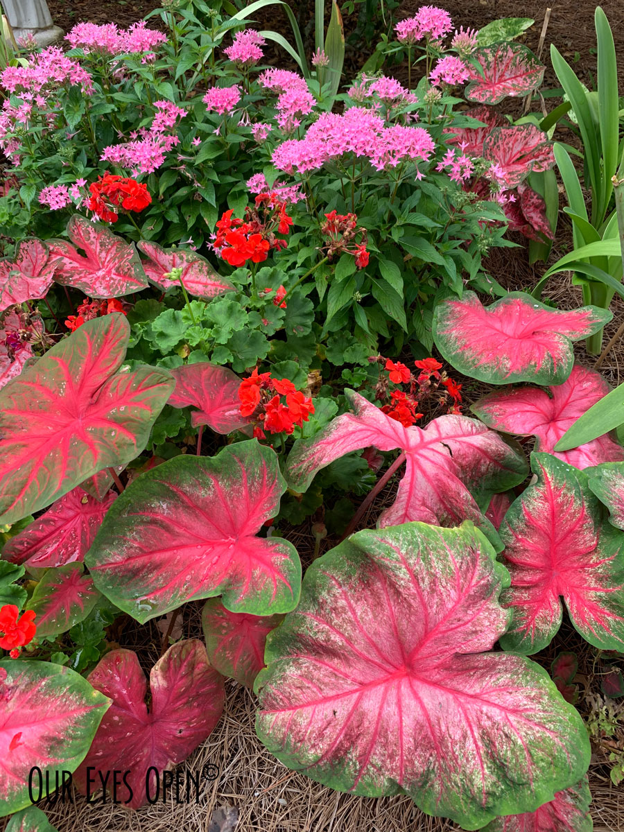 Kay's garden filled with Pentas and Caladiums brings a smile to your face.