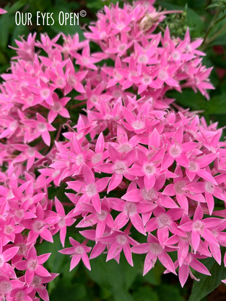 Pentas, a beautiful pink flower in my sister-in-laws gardens in Jacksonville, Florida.