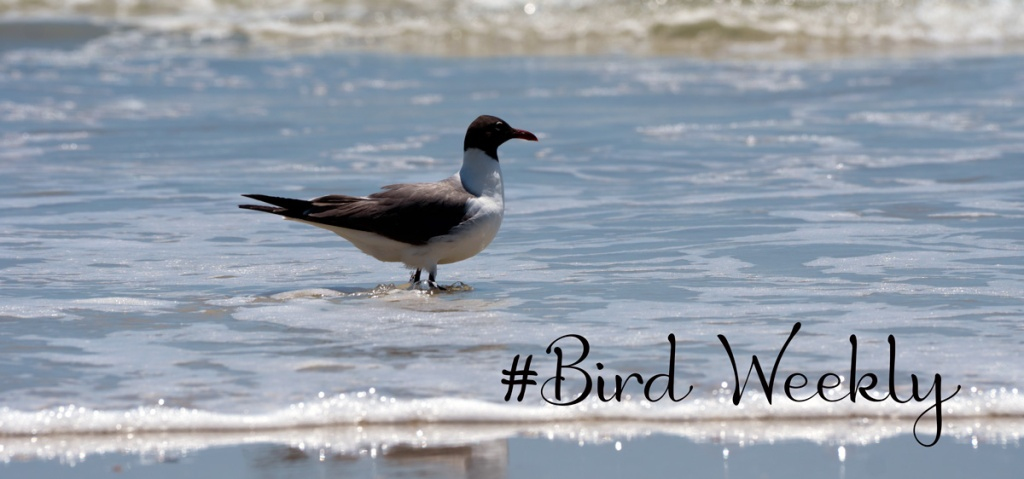 #BirdWeekly Photo Challenge with Laughing Gull in the surf at Little Talbot Island State Park as the background photograph.