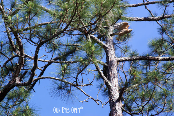 Red-shouldered Hawk taking off from a Pine Tree in St. Marks Wildlife Refuge