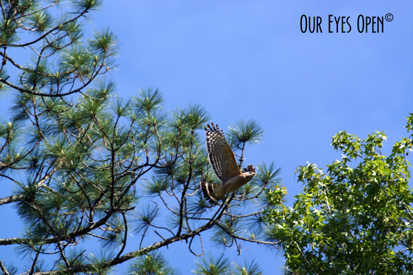 Red-shouldered Hawk in flight at St. Marks Wildlife Refuge.
